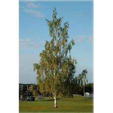 Betula Pendula Dalecarlica, Cut Leaf Birch