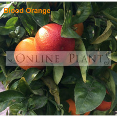 Citrus tree Blood Orange