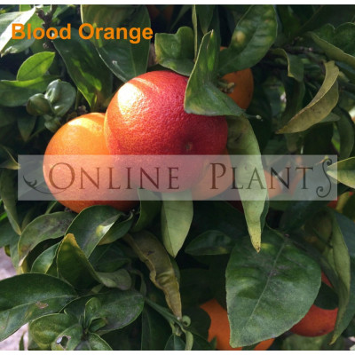 Citrus tree Blood Orange