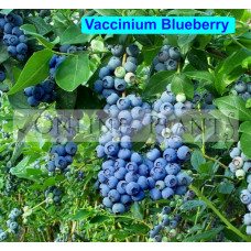 Blueberry Assorted