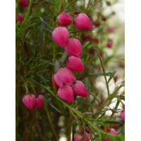 Boronia Heterophylla, Red Boronia