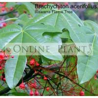 Brachychiton Acerifolius, Illawarra Flame Tree