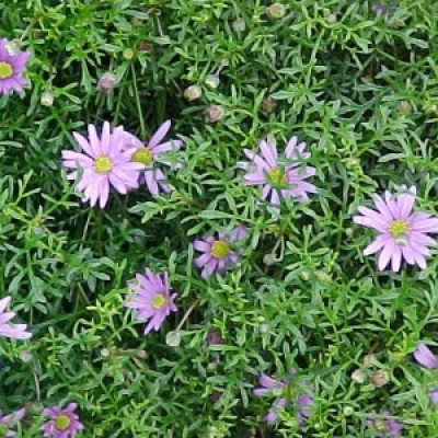 Brachyscome, Cut-Leafed Daisy, Break of Day