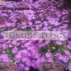 Brachyscome 'Brasco Violet'