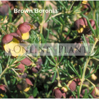 Boronia Megastigma, Brown Boronia