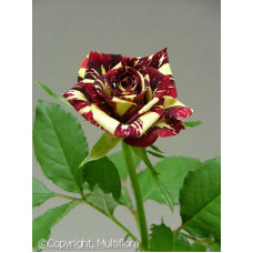 Bush Rose, Abracadabra