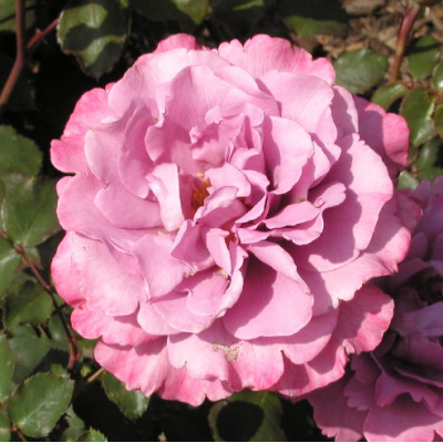 Bush Rose, Angel Face