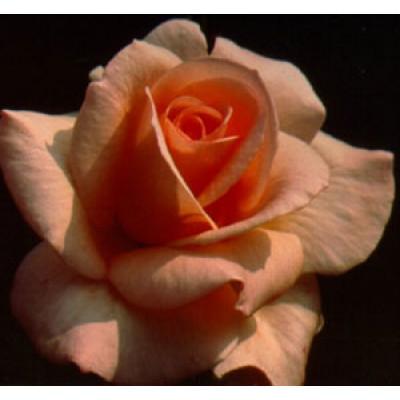 Bush Rose, Apricot Nectar