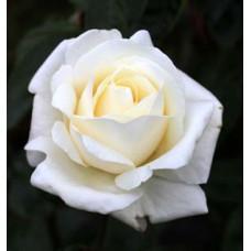 Bush Rose, Atomic Blonde