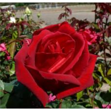 Bush Rose, Avon