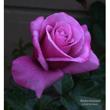 Bush Rose, Barbara Striesand