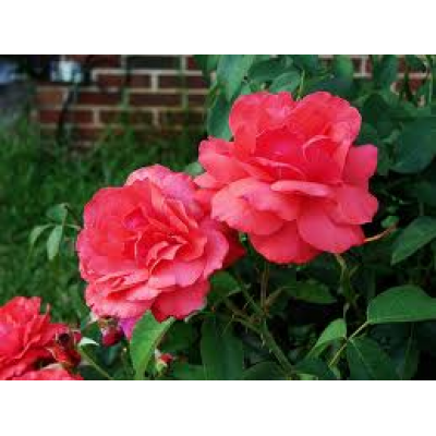 Bush Rose, Best Friend