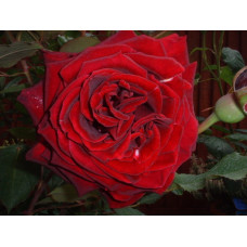Bush Rose, Black Beauty