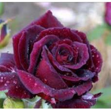 Bush Rose, Black Velvet
