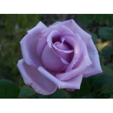 Bush Rose, Blue Moon
