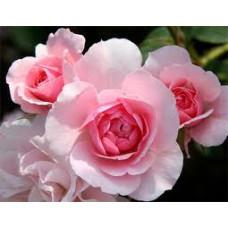 Bush Rose, Blushing Pink Iceberg