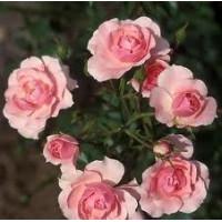 Bush Rose, Bonica