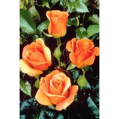 Bush Rose, Brandy