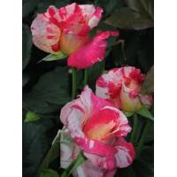 Bush Rose, Cabana