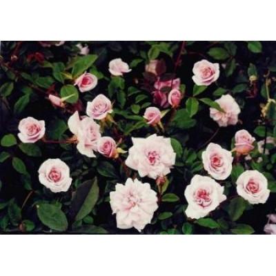 Bush Rose, Cecile Brunner