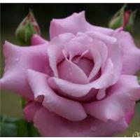 Bush Rose, Charles De Gaule