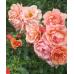 Bush Rose, Childs Love