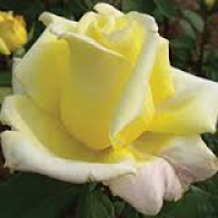 Bush Rose, Close To You
