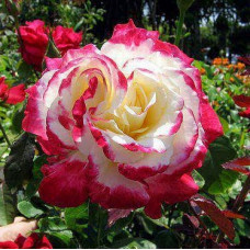 Bush Rose, Double Delight