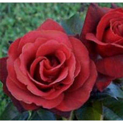 Bush Rose, Ekstase
