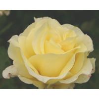 Bush Rose, Elina