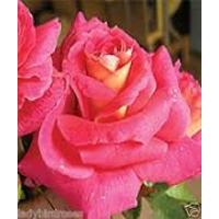 Bush Rose, Emily