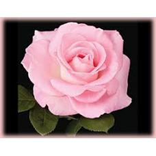 Bush Rose, Falling in Love