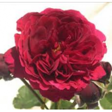 Bush Rose, Fathers Love
