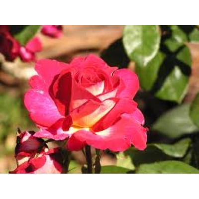 Bush Rose, Fiona's Wish