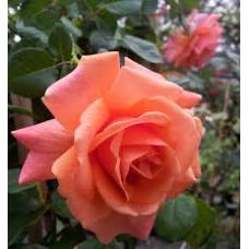 Bush Rose, Firestar