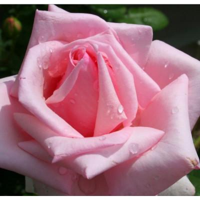 Bush Rose, First Love