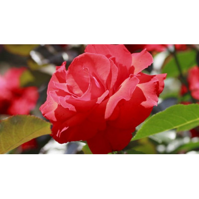 Bush Rose, Fragrant Charm