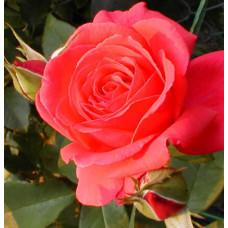 Bush Rose, Fragrant Cloud