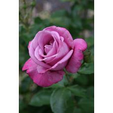 Bush Rose, Fragrant Plum