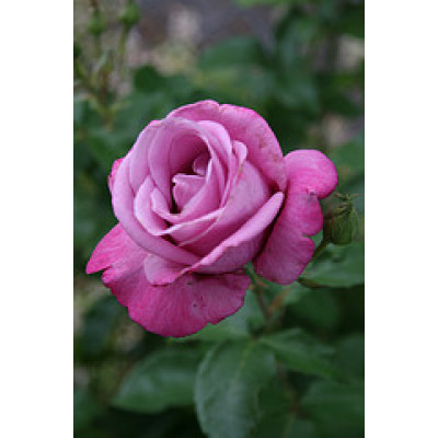 Bush Rose, Fragrant Plum