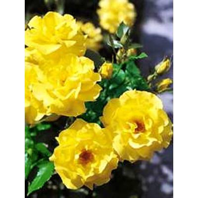 Bush Rose, Friesia