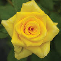 Bush Rose, Go For Gold