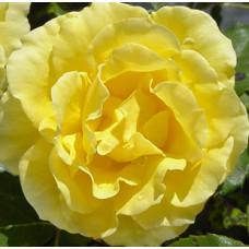 Bush Rose, Gold Bunny