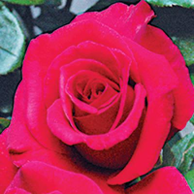 Bush Rose, Grandpa's Rose
