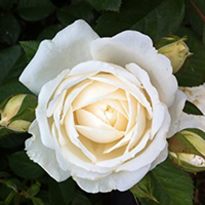 Bush Rose, Guardian Angel
