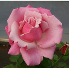Bush Rose, Heaven Scent