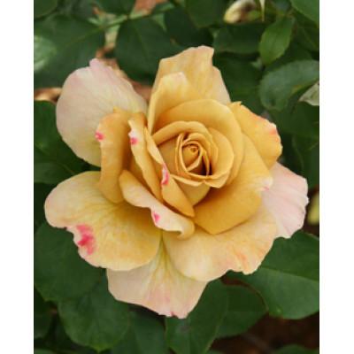Bush Rose, Honey Dijon