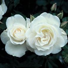 Bush Rose, Iceberg