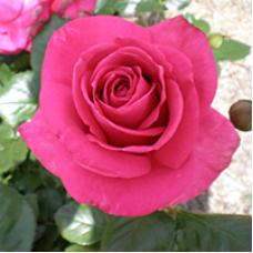 Bush Rose, In Appreciation