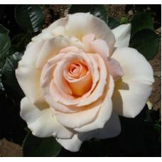 Bush Rose, Isn't She Lovely
